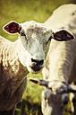 Portrait of a sheep - KRPF000981