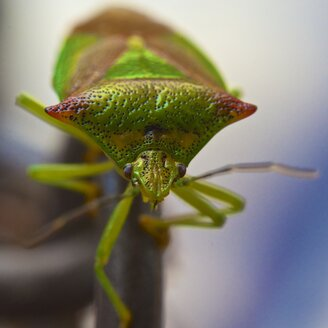 Hemipterans, Hemiptera, close-up - MHF000329