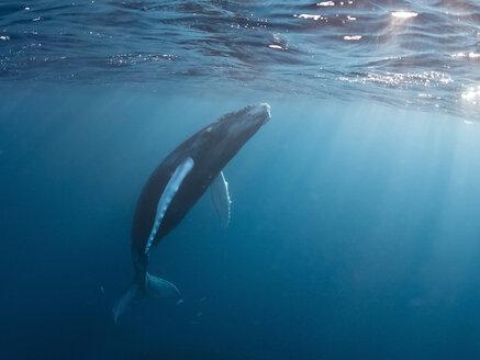 Dominican Republic, Silverbanks, Humpback whale, Megaptera novaeangliae - ZCF000139