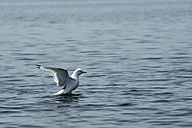Norway, seagull on water - NGF000134