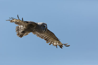 Great grey owl, Strix nebulosa, flying in front of blue sky - GFF000530