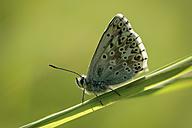 England, Chalkhill Blue, Polyommatus coridon - MJOF000631