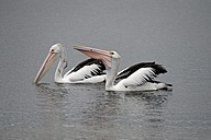 Australia, Victoria, Lakes Entrance, two pelicans looking for food - MIZ000538
