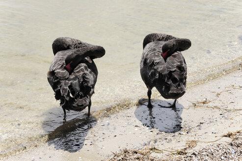 Australia, Victoria, Bairnsdale, two black geese sleeping - MIZ000541