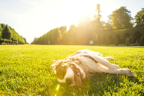 Dog, Canis lupus familiaris, lying on a meadow - PUF000024