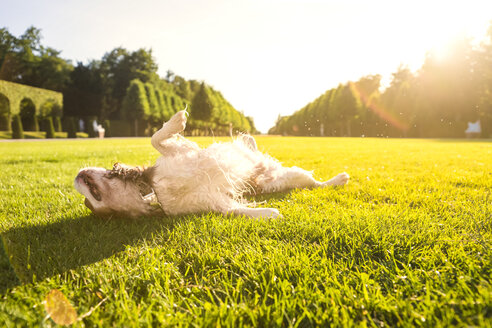 Dog, Canis lupus familiaris, rolling around on a meadow - PUF000025