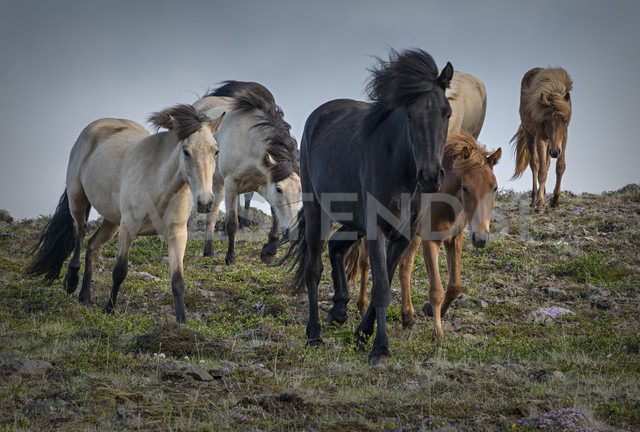 Iceland, North of Iceland, Icelandic horses - MKFF000076