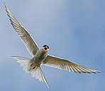 Iceland, Arctic Tern, Sterna paradisaea, flying - MKFF000099