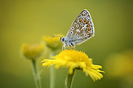 England, Common blue butterfly, Polyommatus icarus, sitting on yellow blossom - MJO000639