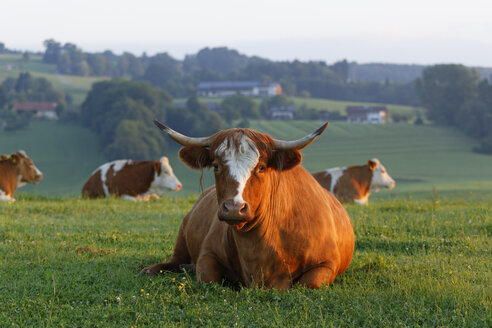 Germany, Bavaria, cow lying on meadow near Greimharting - SIEF005830