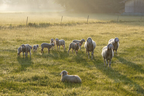 Germany, Bavaria, flock of sheep at Simssee - SIEF005833