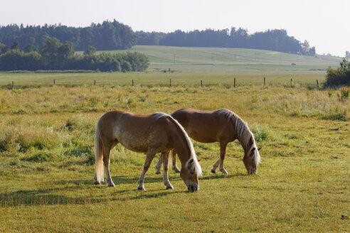 Germany, Bavaria, horses on paddock near Rins - SIEF005840