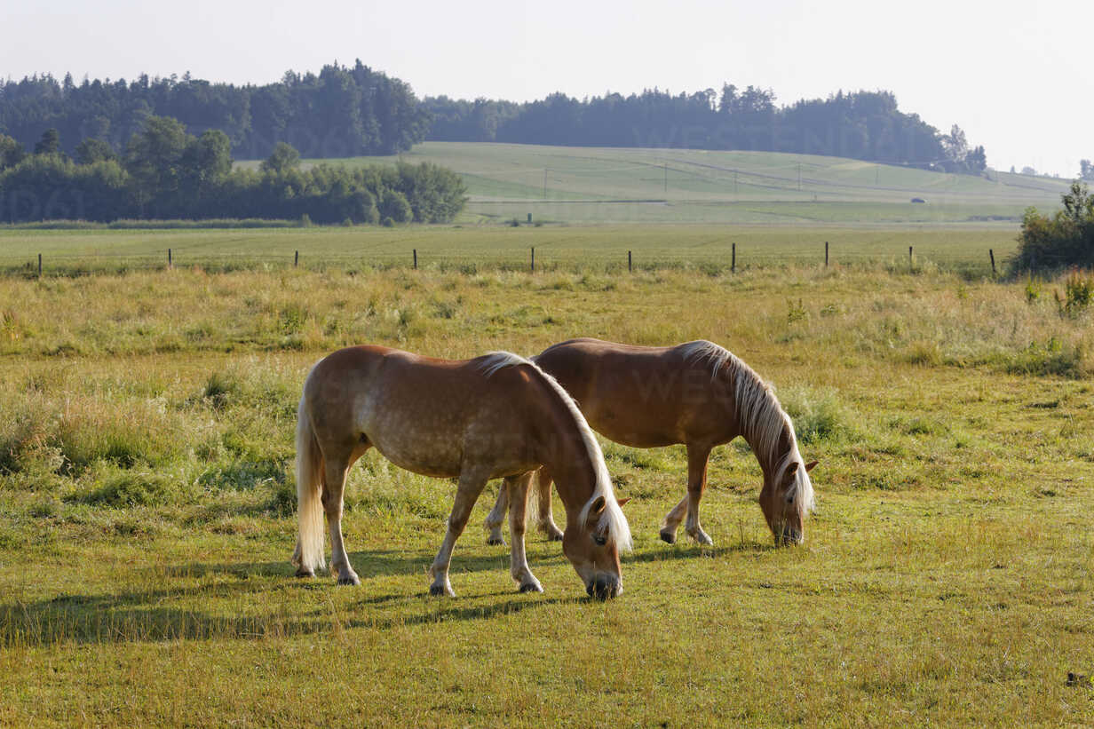 Germany, Bavaria, horses on paddock near Rins - SIEF005840 - Martin Siepmann/Westend61