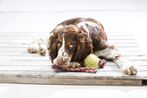 English Springer Spaniel puppy lying on wooden pallet with his dog toys - MAEF009006