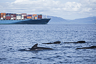 Spain, Andalusia, Tarifa, Strait of Gibraltar, Long-finned pilot whales, Globicephala melas in front of a cargo ship - KBF000139