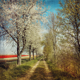 Dirt track along a row of blossoming cherry trees - DWI000159
