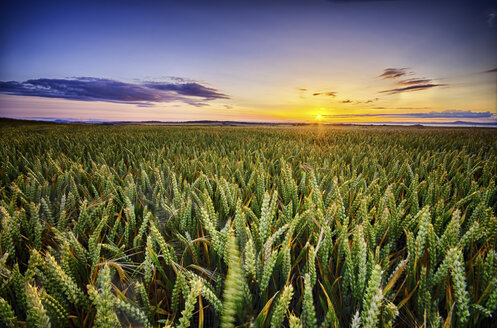 Scotland, East Lothian, sunset over wheat field - SMAF000247
