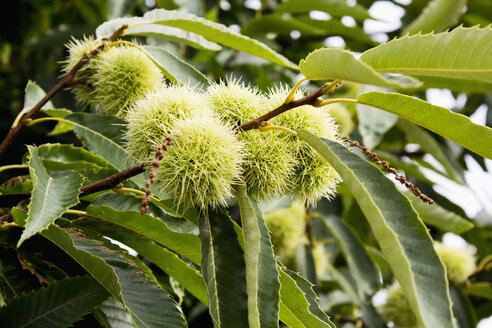 Sweet chestnut on tree - CSF022712