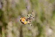 Four-spot orb-weaver - MJOF000653