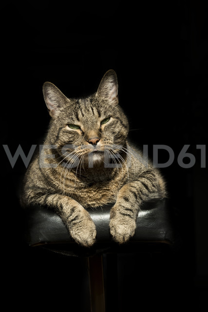 Portrait of European Shorthair relaxing on piano - CSTF000401