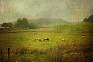 Sheep and ponies on pasture, Wuppertal, Germany - DWI000182