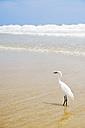 USA, Florida, Daytona Beach, snowy egret on beach - BRF000659