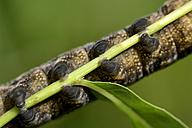 Elephant Hawk-moth caterpillar, Deilephila elpenor, hanging on a twig - MJOF000672
