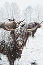 Austria, Salzburg State, Altenmarkt-Zauchensee, highland cattles in snow drift - HHF004892
