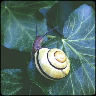 Grove snail - SHIF000081