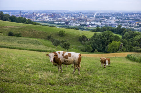 Austria, Upper Austria, Linz, Cows on alp, Industrial area in the background - EJWF000597