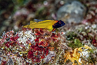 Croatia, Black-faced blenny, Tripterygion delaisi - ZCF000172