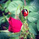 Ladybug climbing pink rose - AFF000106