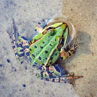 Green frog - AFF000121
