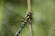 Southern hawker, Aeshna cyanea, hanging on a blade - MJOF000695