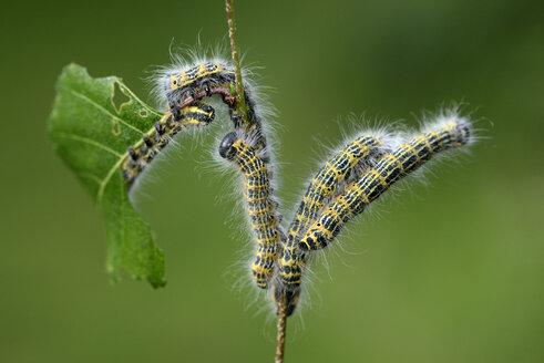 Five caterpillars of buff-tip moth, Phalera bucephala, eating leaf of a twig - MJOF000697