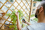 Man cutting grapevine on his balcony - MBEF001108