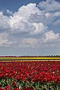 Germany, tulip fields - ASCF000098