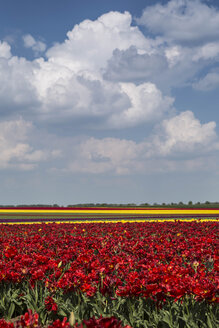 Germany, tulip fields - ASCF000098