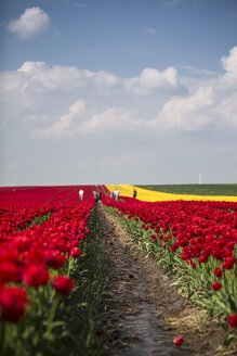 Germany, tulip fields with people in the background - ASCF000106