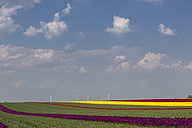 Germany, tulip fields with wind wheels in the background - ASCF000107