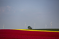 Germany, tulip fields with tractor and wind wheels in the background - ASCF000102