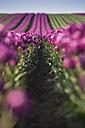 Germany, purple tulip fields - ASCF000104