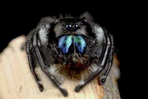 Regal jumping spider, Phidippus regius, with prey - MJOF000717