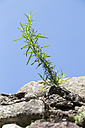 Italy, Lake Garda, Lazise, rosemary growing on stone wall - SARF000824