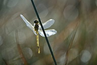Black darter, Sympetrum danae, hanging at blade - MJOF000732