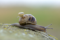 Snail, Gastropoda, carrying child on her shell - MJOF000735