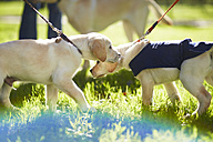 Guide dogs at dog training - ZEF000854