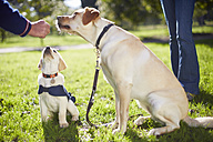 Guide dogs at dog training - ZEF000984