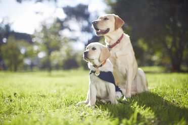 Two guide dogs at dog training - ZEF000867