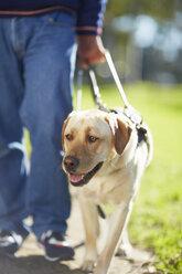 Portrait of guide dog - ZEF000987